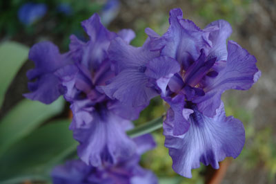 Purple Iris - Fallbrook, CA - May 7, 2006