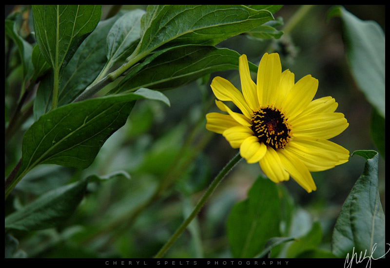 Yellow Daisy - May 8, 2006