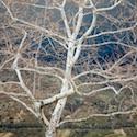 White Tree, Wild Sky