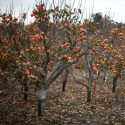 Persimmon Trees