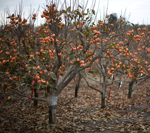 Fallbrook Persimmon Orchard