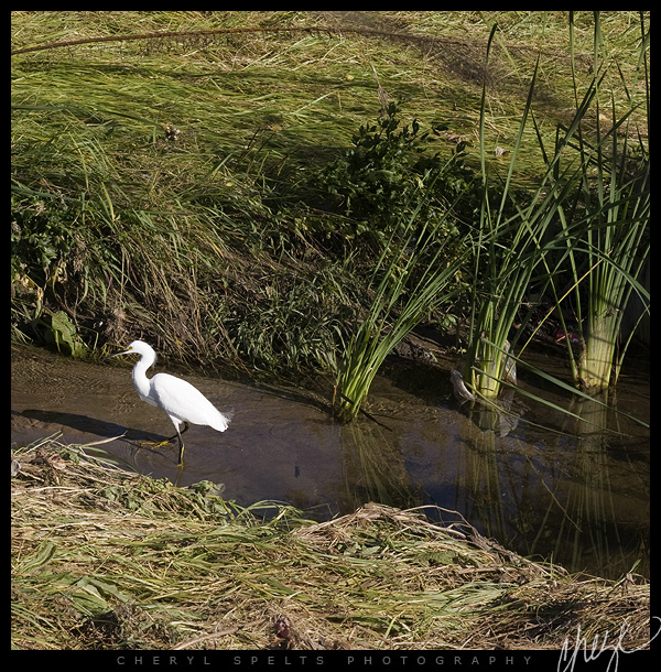 Egret in Fallbrook