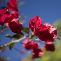 Bougainvillea & Blue Sky
