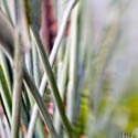 Lensbaby | Bird of Paradise Stalks
