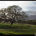 Oak Tree in Fallbrook