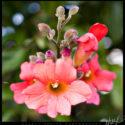 Orangey Pink Blossoms