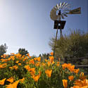 California Poppies & Windmill