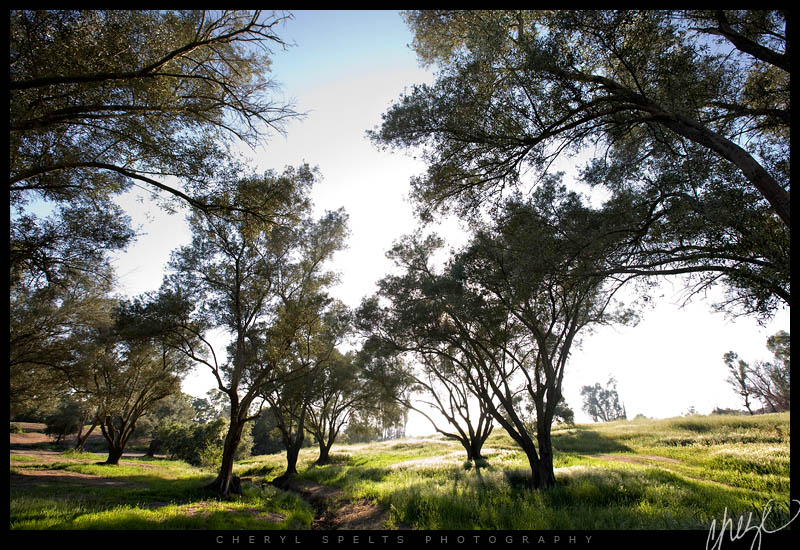 Olive Trees, Fallbrook, California