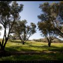 Olive Trees in Fallbrook, California