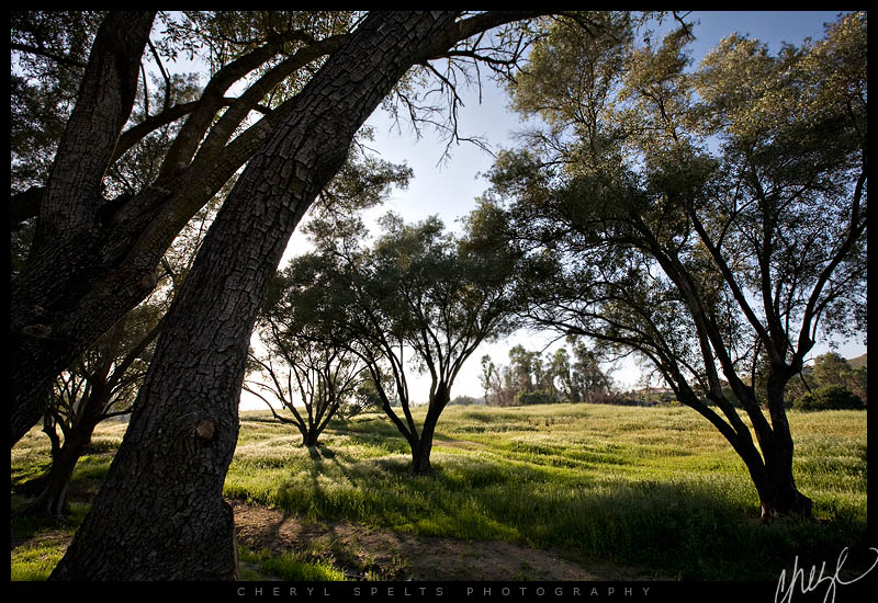 Olive Trees | Fallbrook, California