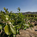 Citrus Trees at Maddox Nursery