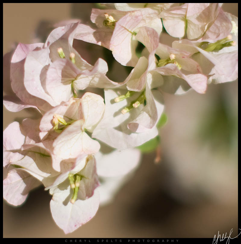 Pale Pink Bogenvia