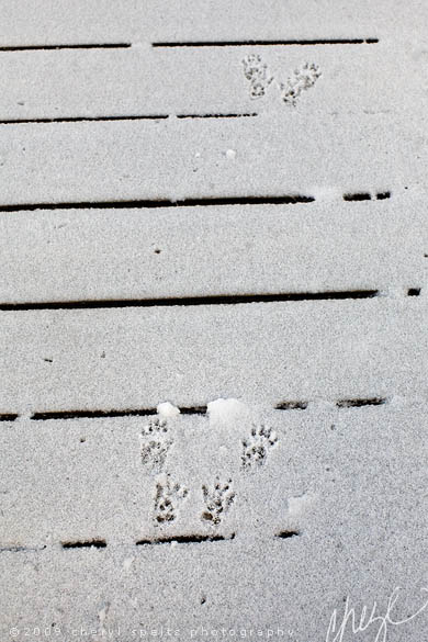 Squirrel Footprints in the Snow // Photo: Cheryl Spelts
