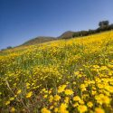 Yellow Wildflowers in Menifee