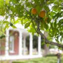 Orange Tree at the Estudillo Mansion