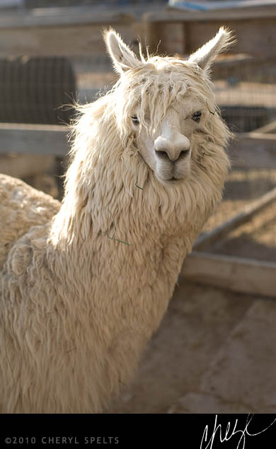 White Alpaca // Photo: Cheryl Spelts