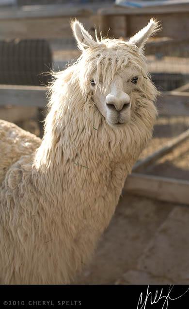 White Alpaca // Photo: Cheryl Spelts