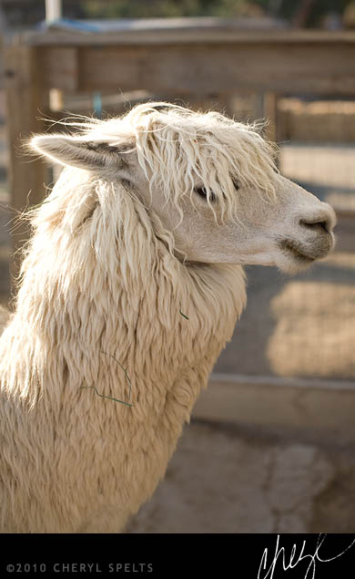 Pretty Alpaca // Photo: Cheryl Spelts