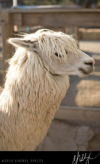 Pretty Alpaca // Photo: Cheryl Spelts