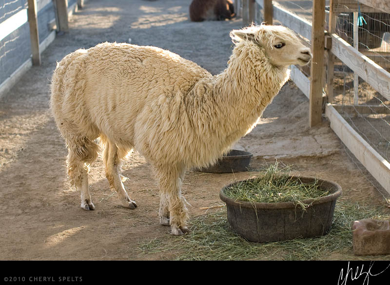 Alpaca on Rios Street // Photo: Cheryl Spelts