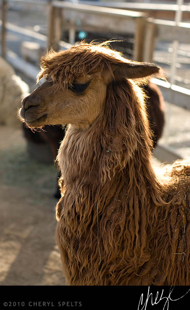 Brown Alpaca // Photo: Cheryl Spelts