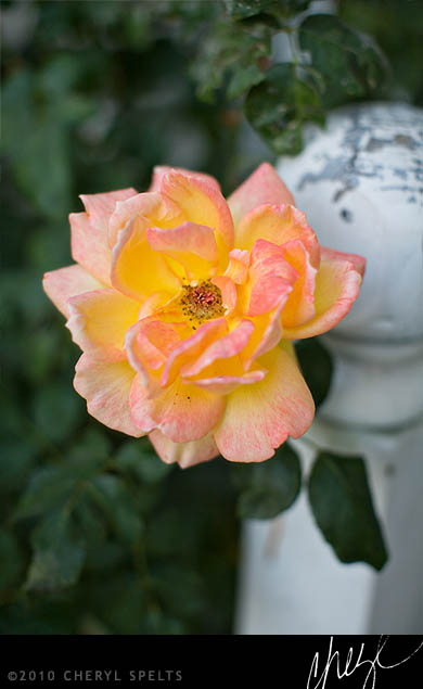 Overblown Rose // Photo: Cheryl Spelts