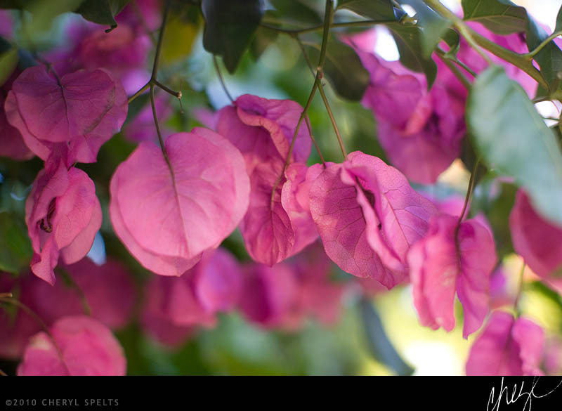 Pink Bougainvillea // Photo: Cheryl Spelts