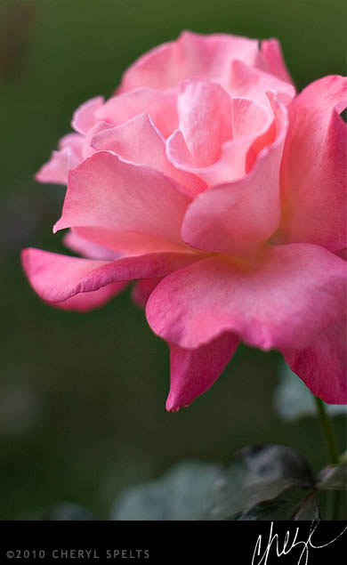 Pink Rose // Photo: Cheryl Spelts