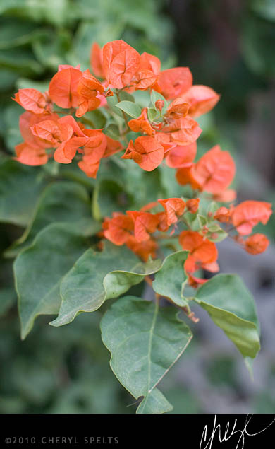 Orange Bougainvillea // Photo: Cheryl Spelts