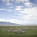 Sheep Grazing | Gilman Springs Road