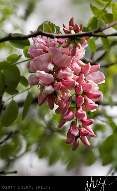 Black Locust // Photo: Cheryl Spelts
