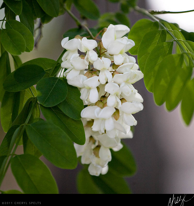 Black Locust with White Blooms