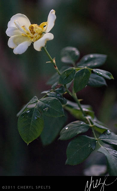 Faded Yellow Rose