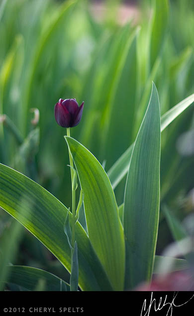 Black Tulip // Photo: Cheryl Spelts