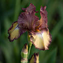Raspberry Fudge Tall Bearded Iris