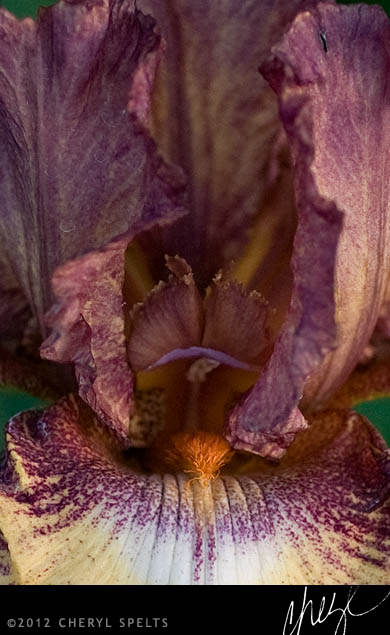 Purple and Orange Iris // Photo: Cheryl Spelts