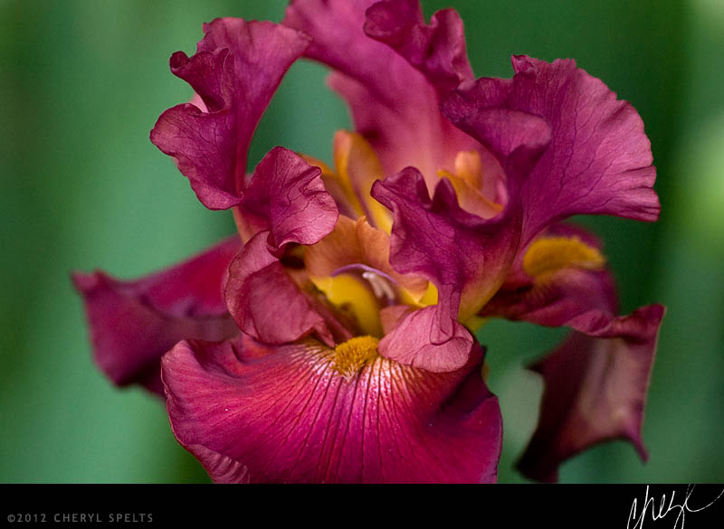 Maroon & Orange Iris // Photo: Cheryl Spelts