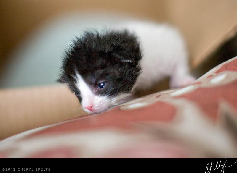 Black and White Kitten // Photo: Cheryl Spelts