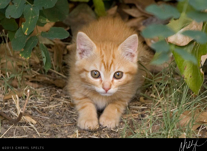 Orange Kitten // Photo: Cheryl Spelts