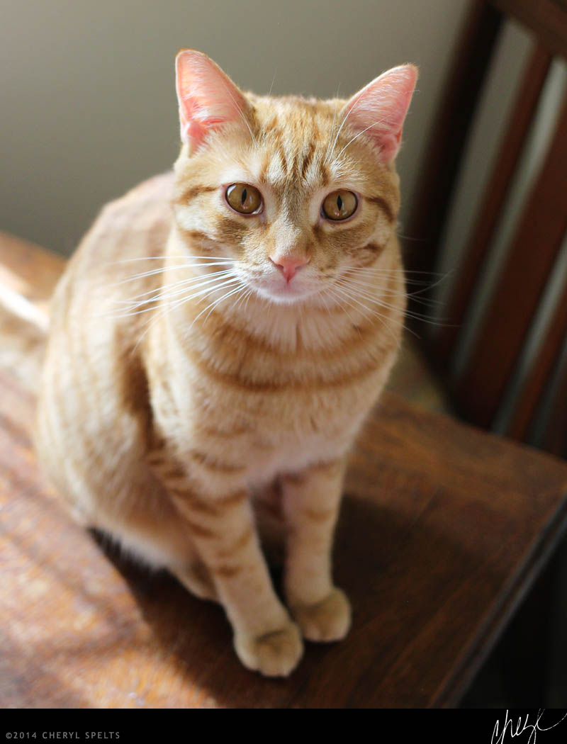 Orange cats love people! // Photo: Cheryl Spelts