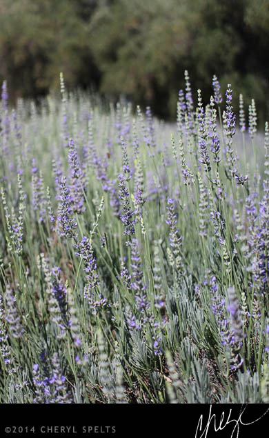 Lavender at Highland Springs Resort // Photo: Cheryl Spelts