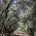 Olive Trees at Highland Springs Resort