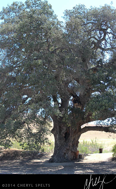 Thousand-Year-Old Oak Tree // Photo: Cheryl Spelts