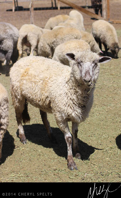 Sheep at Highland Springs Resort // Photo: Cheryl Spelts