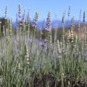 Southern California Lavender Farm