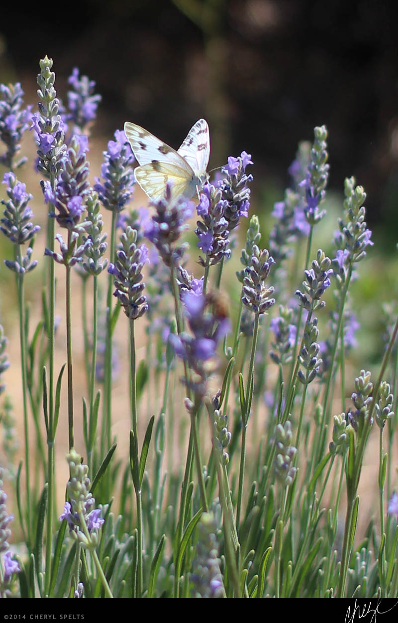 Butterfly on Lavender // Photo: Cheryl Spelts