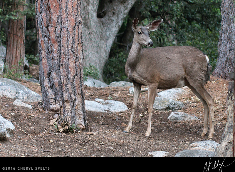 Deer in Idyllwild