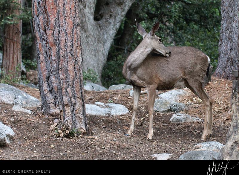 Pregnant Deer