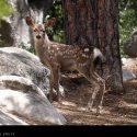 Spotted Baby Deer