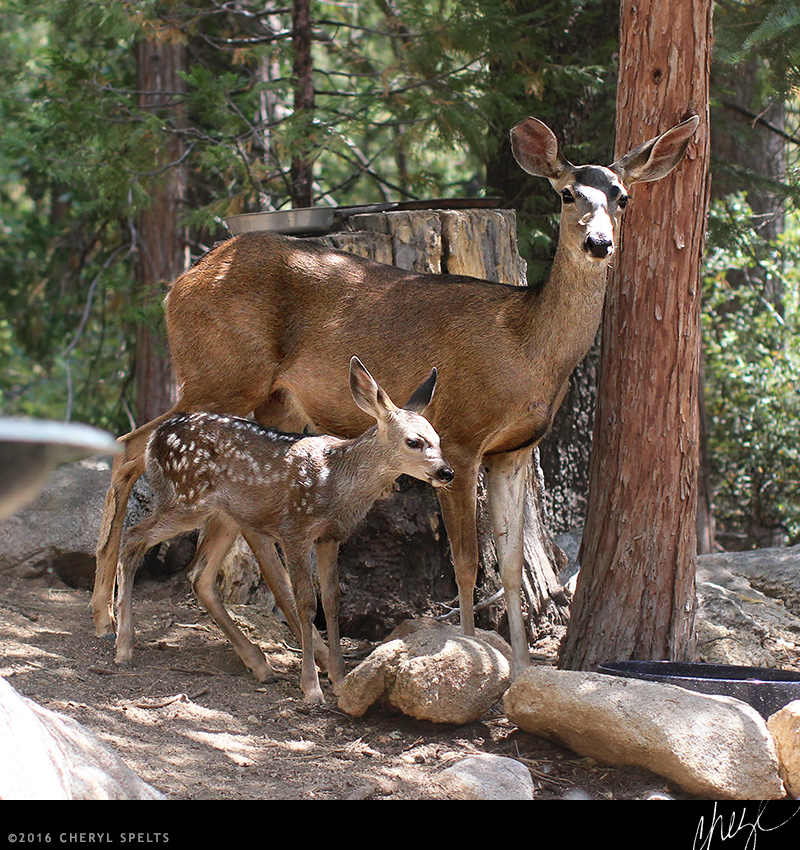 Mama Deer and baby deer // Photo: Cheryl Spelts